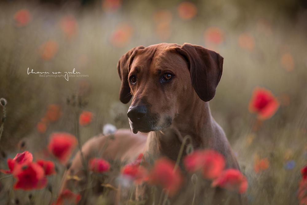 Beispielbilder Hundefotos Bheko Mohn