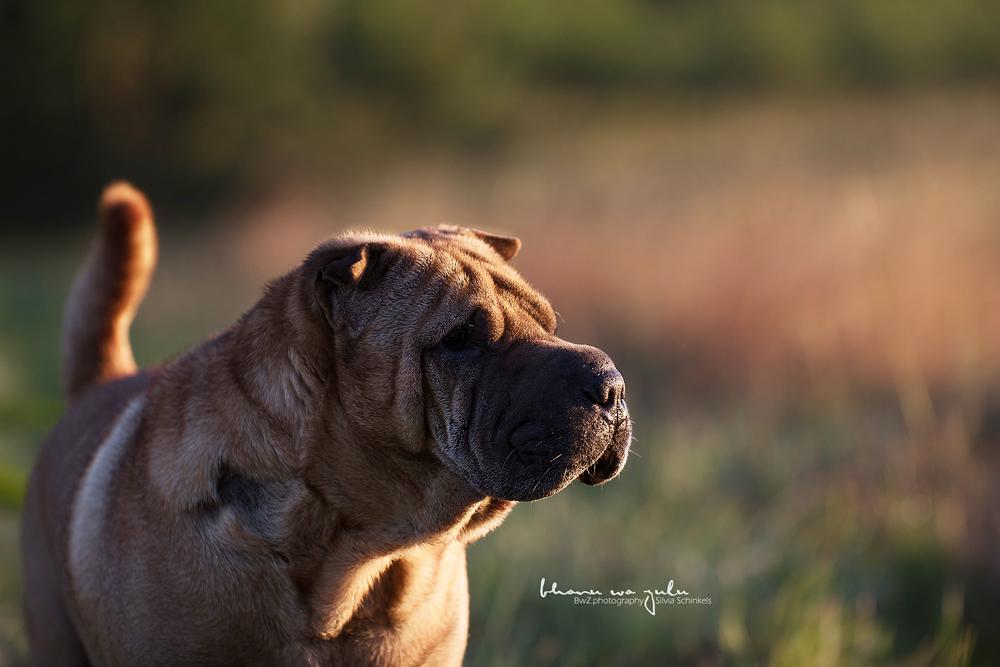 Beispielbilder Hundefotos SharPai