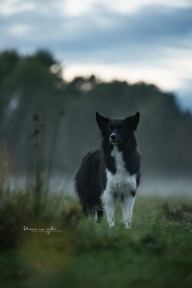 Beispielbilder Hundefotos Border