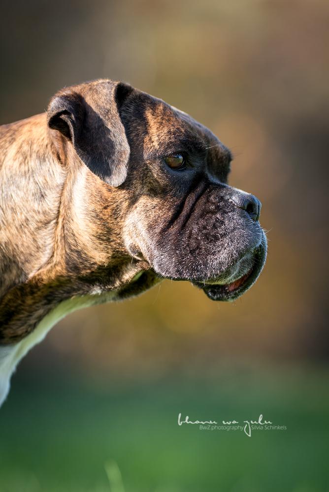 Beispielbilder Hundefotos Boxer