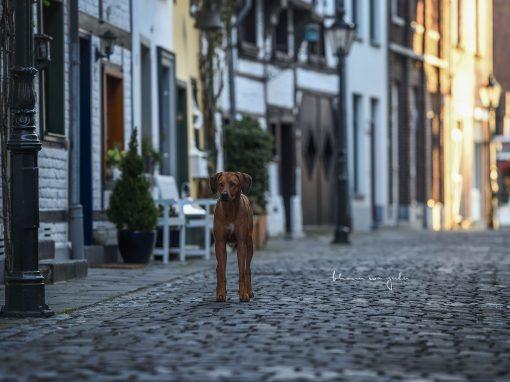 | Stadthunde