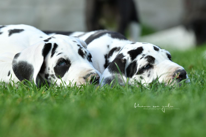 Beispielbilder Hundefotos Doggenbabies schwarz