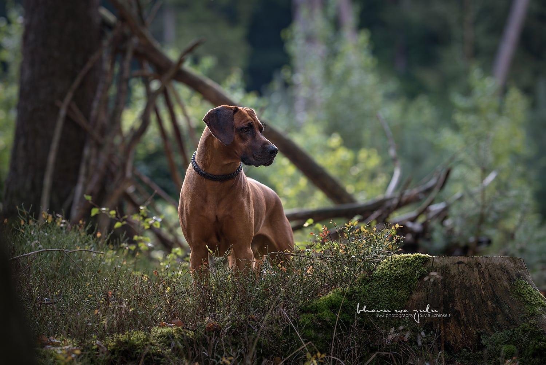 Buks im Wald