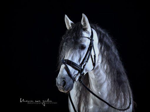| ins Studio mit Pferden