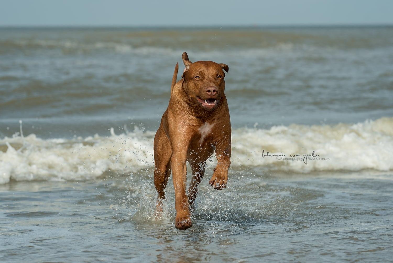 Wasseraction am Strand, Hundefotografie nrw
