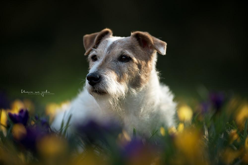 Portfolio Hund Krokus lila