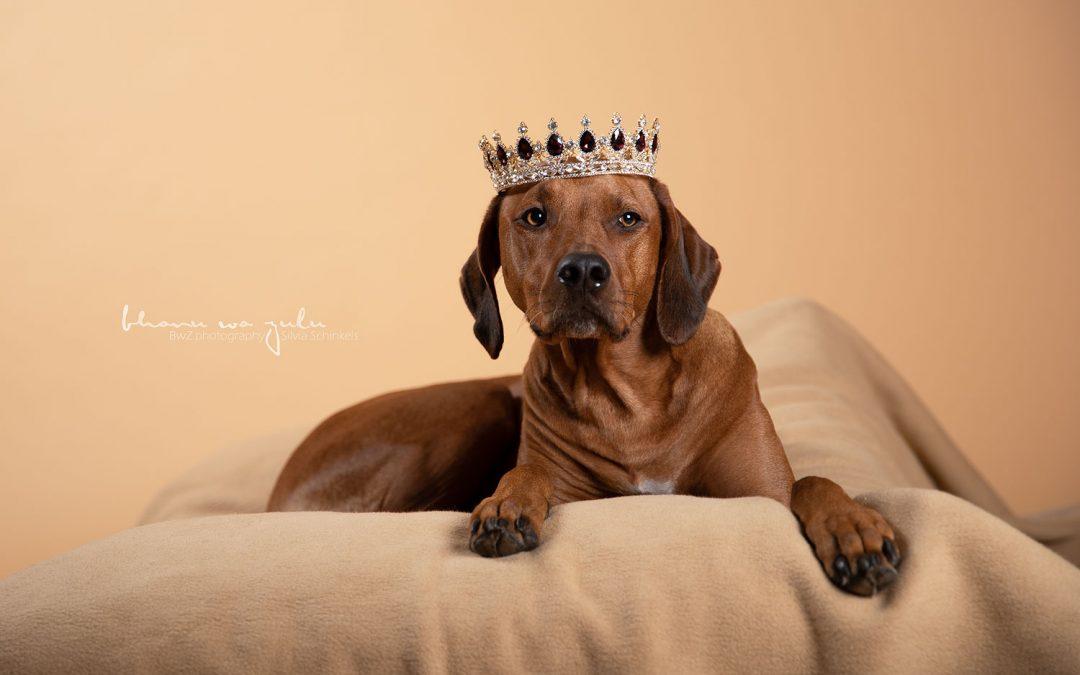 Ridgeback Hundefotografie Meerbusch